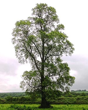 Elm - Ulmus minor,
