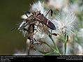 Eastern Leaf-footed Bug (Coreidae, Leptoglossus phyllopus) (31273644276).jpg
