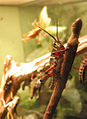 Eastern Lubber Grasshopper 04.jpg