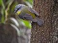 Eastern Yellow Robin (20812848913).jpg