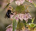 Eastern carpenter bee on spotted bee balm (70440).jpg