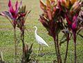Eastern great egret (10588092754).jpg
