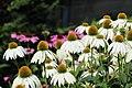 Echinacea-001.jpg
