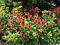 Echinacea (28703214942).jpg