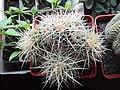 Echinocactus grusonii - Shostak.jpg