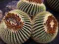 Echinocactus grusonii Gruppe-2.jpg
