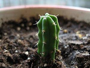 Echinopsis pachanoi - A newly planted Echinopsis pachanoi (San Pedro Cactus) cutting