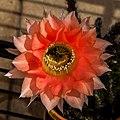 Echinopsis IMG 2981.jpg