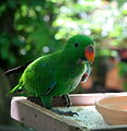 Eclectus Parrot (Eclectus roratus) -male.jpg