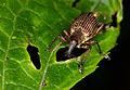 Ecuadorian weevil (14719968654).jpg