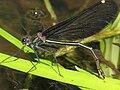 Eiablage von Calopteryx virgo 3812.JPG