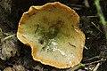 Eichhof 06.08.2017 False Saffron Milkcap - Lactarius deterrimus (36922214170).jpg