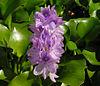 Eichhornia crassipes B