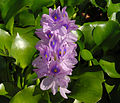 Eichhornia crassipes B.jpg