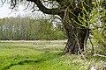Eine Alte Erle im Hintergrund kanadische Wildgäns im großen Torfmoor bei Hille.De-31618-401.jpg