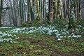 Eirlysiau ar Lan Afon Dwyfor - Snowdrops on the Banks of Afon Dwyfor - geograph.org.uk - 684029.jpg