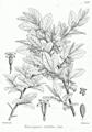 Elaeagnus latifolia Bra46.png