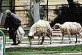 Elderly Woman Leads Sheep along Street - Gaziantep - Turkey (5772000077).jpg