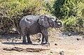 Elefante africano de sabana (Loxodonta africana), parque nacional de Chobe, Botsuana, 2018-07-28, DD 37.jpg