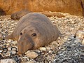 Elephant Seal.jpg