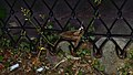 Elm Sphinx Moth (Ceratomia amyntor) - Guelph, Ontario 03.jpg