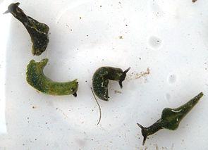 Grüne Samtschnecken (Elysia viridis)