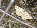 Ematurga atomaria - Common heath - Пяденица вересковая (40882883312).jpg