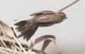 Emberiza schoeniclus 112801963.png