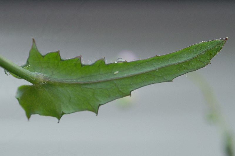 File:Emilia sonchifolia leaf on stem2 (14023826586).jpg