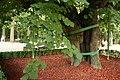 Eminescu's Linden Tree (close-up, 2014).JPG