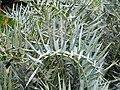 Encephalartos horridus - Villa Thuret - DSC04831.JPG