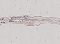Enchytraeidae (YPM IZ 077389) 001.jpeg