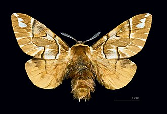 Endromis - Image: Endromis versicolora MHNT.CUT.2011.0.446. Male.Allier (Hautes Pyrénées) Dos