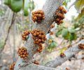 Englerophytum magalismontanum, blomknoppe, Little Eden, c.jpg
