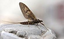 Genèse de la mouche chapitre 10 dans MOUCHE 220px-Ephemeroptera_2