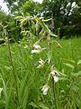 Epipactis palustris 07.JPG
