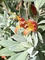 Eremophila glabra orange.jpg