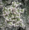 Erica arborea-- Tree Heather (26661162805).jpg