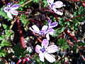 Erodium cicutarium Flowers Closeup DehesaBoyaldePuertollano.jpg