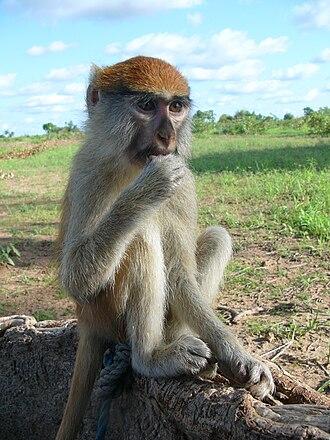 Patas monkey - Image: Erythrocebus patas patas Burkina faso