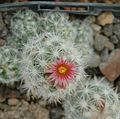 Escobaria sneedii flower.jpg