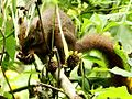 Especie de ardilla (Sciurus), Henri Pittier, Venezuela 8.jpg