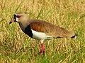 Esterros de Farrapos - Vanellus chilensis 2.jpg