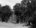 Ett staket av pignon d'Inde, som växer bra. Fenerive. Madagaskar - SMVK - 021927.tif