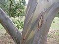Eucalyptus Tree (1747523722).jpg