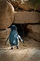 Eudyptula minor -Featherdale Wildlife Park, Doonside, Sydney, Australia-8 (1).jpg