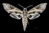 Eumorpha megaeacus MHNT CUT 2010 0 201 Caneca Fina, Rio Sucavao, Mun. Mage, Guapi-mirim, Estado do Rio, Brazil, male dorsal.jpg