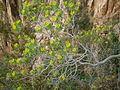 Euphorbia dendroides3-Corsica~2011 04 30.jpg