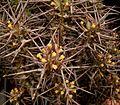 Euphorbia phillipsiae ies.jpg