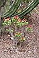 Euphorbia splendens Christ's Thorn.JPG